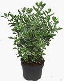 Euonymus japonicus 'Kathy' weiß-grüne Japanspindel 17 cm Topf - winterharter, wintergrüner, Strauch- als Kübelpflanze - für Balkon, Terrasse, Garten, als Hecke