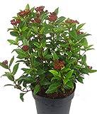 Viburnum tinus - Lorbeerschneeball, Mittelmeerschneeball - winterharter, wintergrüner, weiß blühender Strauch - Höhe 40-50 cm cm