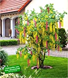 BALDUR Garten Chimären-Goldregen, 1 Pflanze Laburnocytisus adamii Edel Goldregen