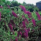 Schmetterlingsflieder Royal Red - Sommerflieder (Buddleja)...