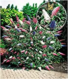BALDUR Garten Sommerflieder 'Papillion Tricolor', 1 Pflanze Buddleja davidii, Buddleia Schmetterlingsflieder Tricolor Schmetterlingsstrauch Zierstrauch